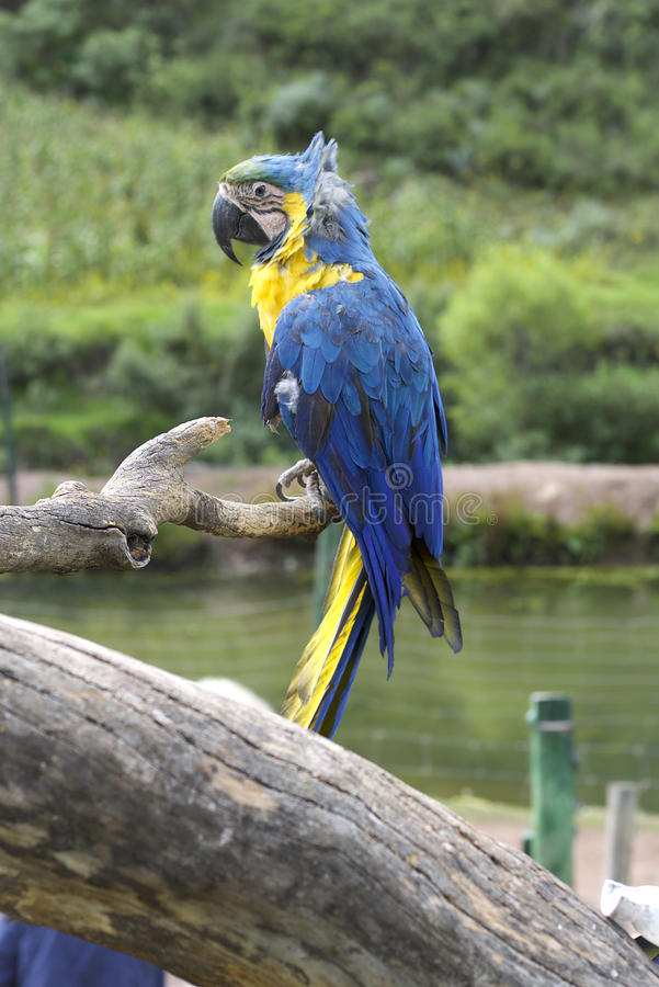Blue and Yellow Macaw. Sitting on tree branch royalty free stock photo