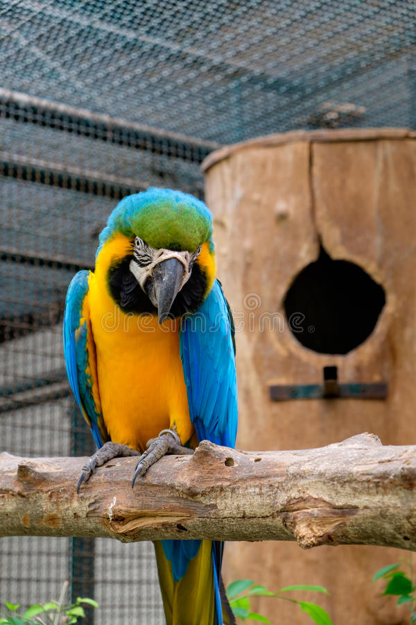 Blue-and-yellow macaw sitting on tree. Blue-and-yellow macaw or Blue-and-gold macaw sitting on tree with nest background royalty free stock photos