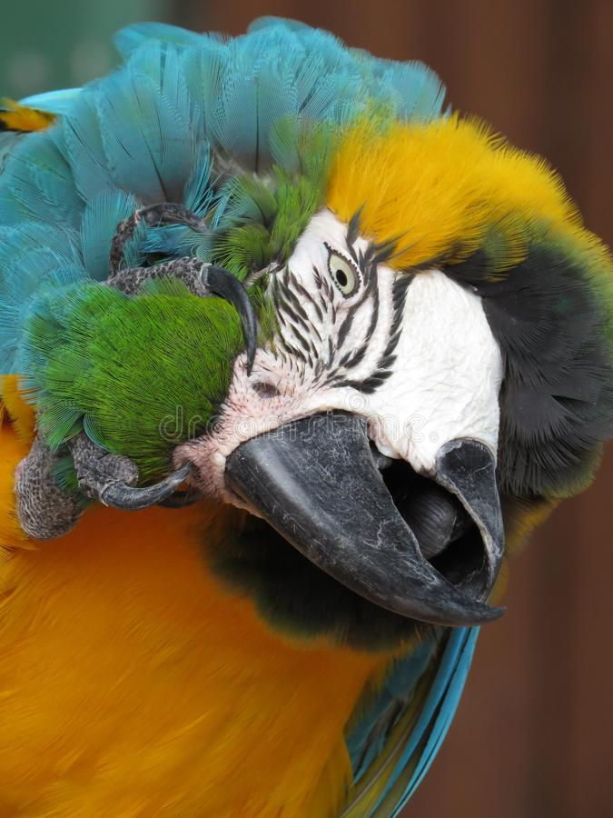 The blue and yellow macaw portrait royalty free stock photos
