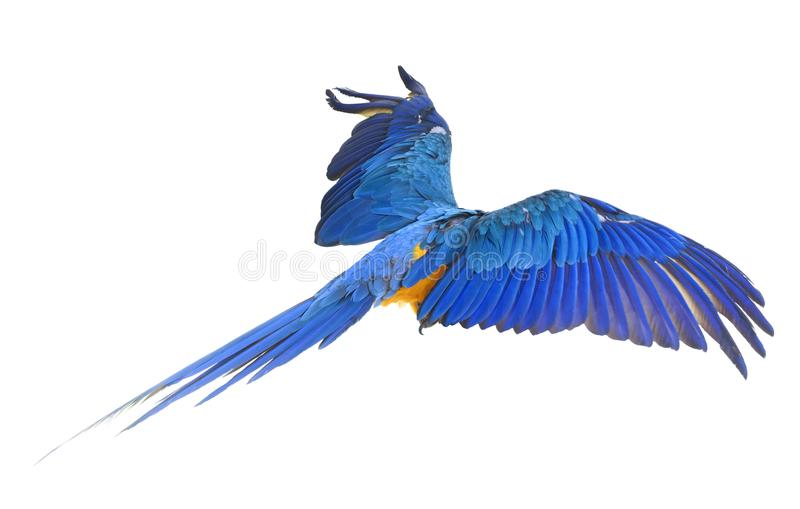 Blue-and-yellow macaw in studio. Blue-and-yellow macaw in front of white background royalty free stock photography