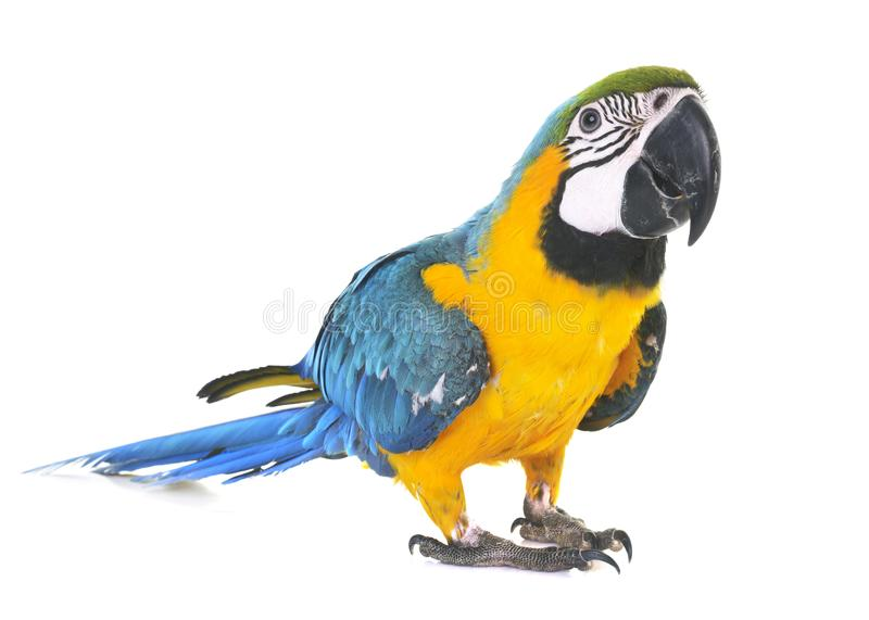 Blue-and-yellow macaw in studio. Blue-and-yellow macaw in front of white background stock photography