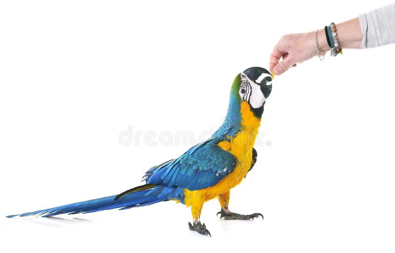 Blue-and-yellow macaw in studio. Blue-and-yellow macaw in front of white background royalty free stock photo
