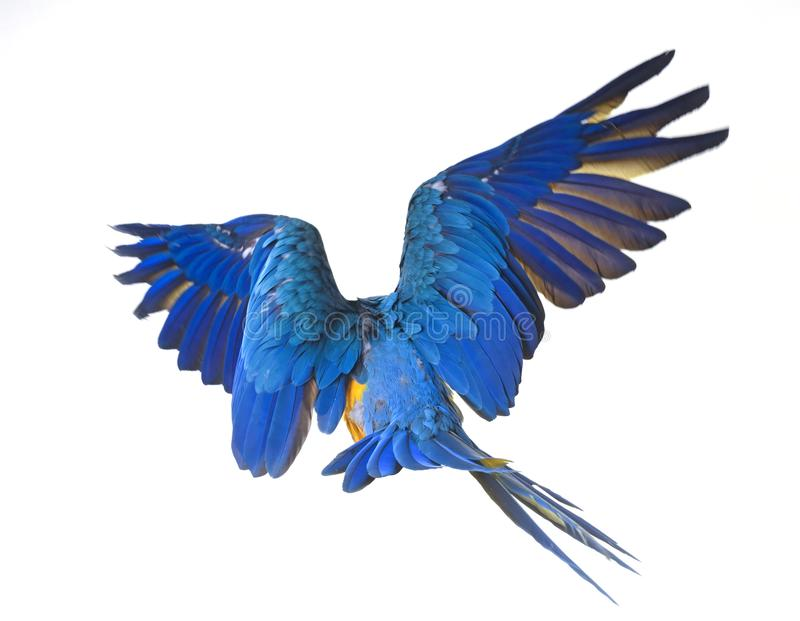Blue-and-yellow macaw in studio. Blue-and-yellow macaw in front of white background royalty free stock images
