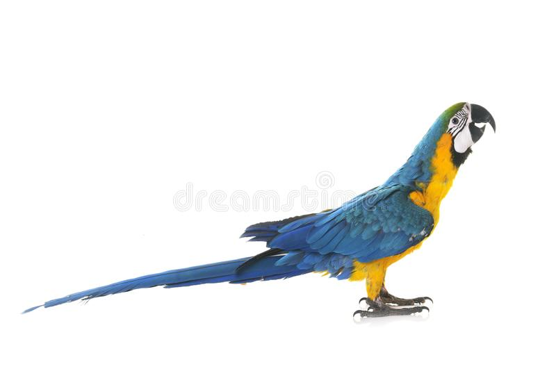 Blue-and-yellow macaw in studio. Blue-and-yellow macaw in front of white background royalty free stock photos