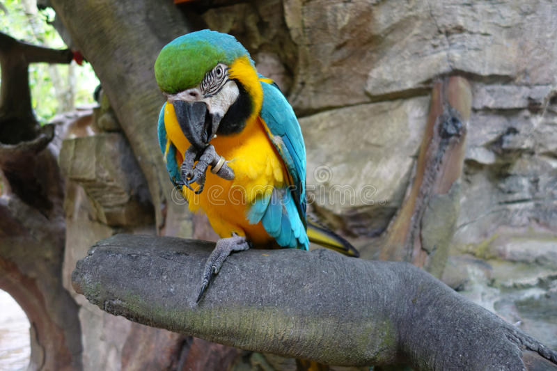 Blue and yellow macaw. On the tree royalty free stock image
