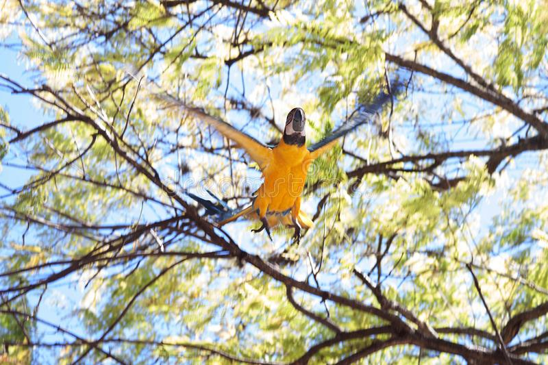 A Blue and Yellow Macaw on a Tree royalty free stock images
