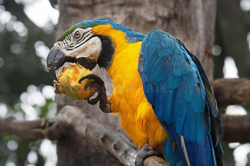 A Blue and Yellow Macaw on a Tree. The blue-and-yellow macaw Ara ararauna, also known as the blue-and-gold macaw, is a large South American parrot with blue top royalty free stock image