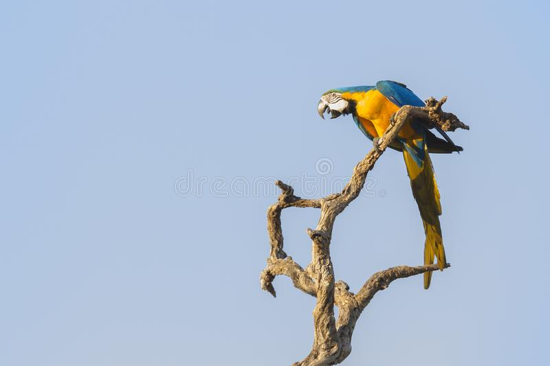 Blue and yellow macaw on tree. Blue and yellow macaw Ara ararauna, sitting on tree and calling, Brazil royalty free stock image
