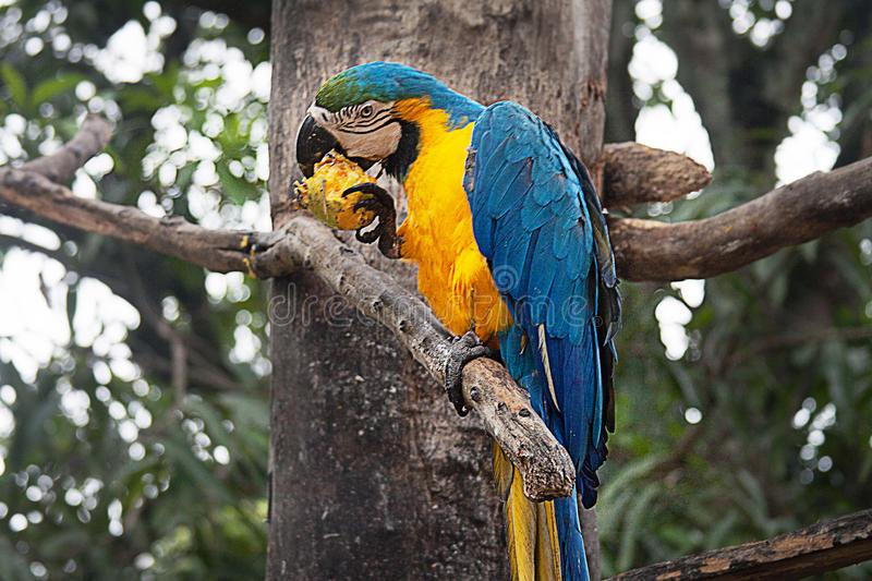 A Blue and Yellow Macaw on a Tree. The blue-and-yellow macaw Ara ararauna, also known as the blue-and-gold macaw, is a large South American parrot with blue top royalty free stock images