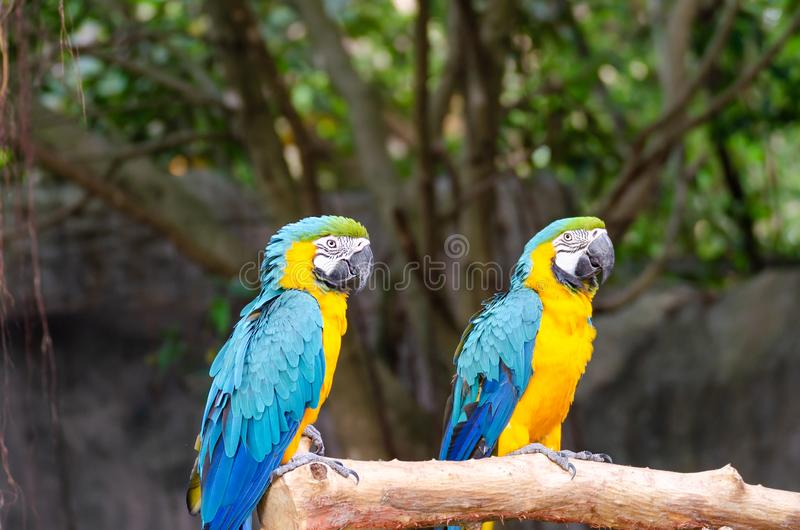 Blue and Yellow Macaw on tree branch. Blue and Yellow Macaw at zoo royalty free stock image