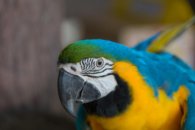 Blue and yellow macaw. Were fed at the zoo royalty free stock photography