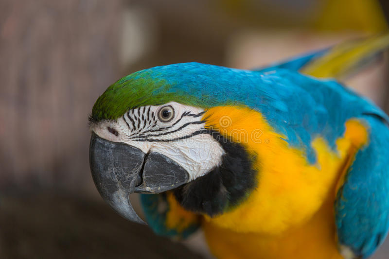 Blue and yellow macaw. Were fed at the zoo royalty free stock image