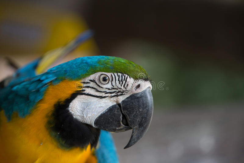 Blue and yellow macaw. Were fed at the zoo stock image