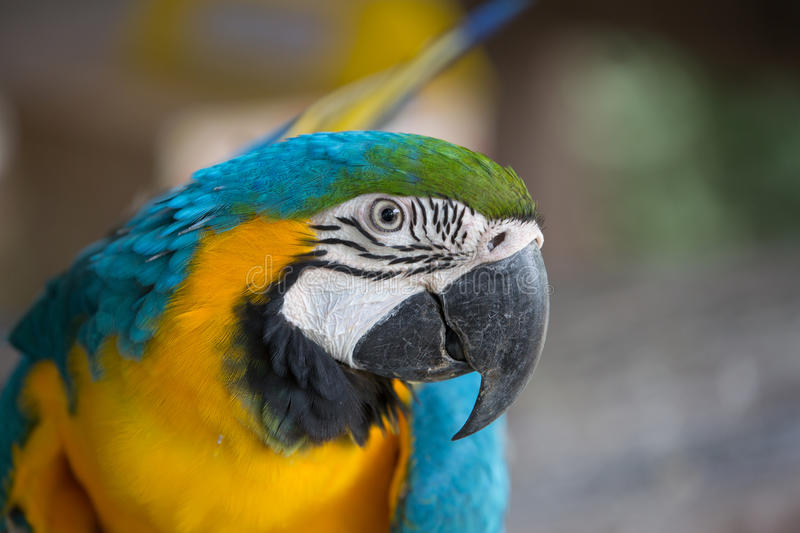 Blue and yellow macaw. Were fed at the zoo stock photos
