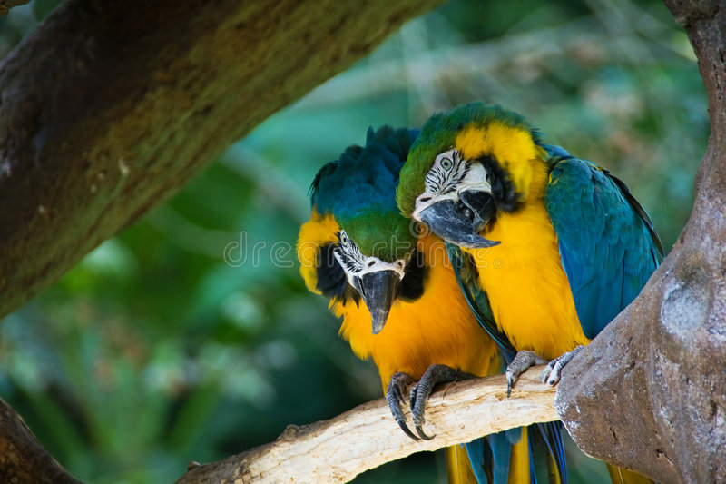 Blue-and-yellow Macaws. Two Blue-and-yellow Macaws (Ara ararauna stock images