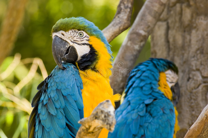 Blue and Yellow macaws - Was it something I said?. Blue and Yellow macaws turning away from each other like in a fight stock photo