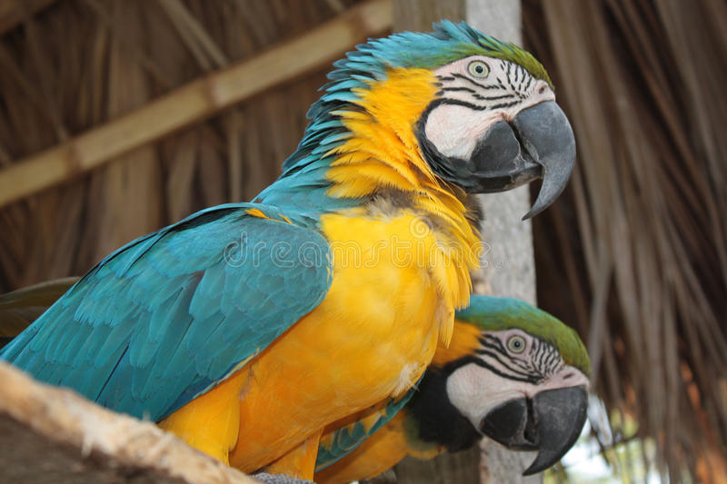 Blue and yellow macaws. At the zoo royalty free stock images