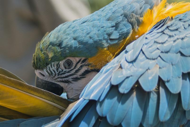 Close-up of a blue-yellow parrot Аra who arranges his feathers. The blue-yellow orara Ara ararauna is one of the 15 species of ara. It inhabits the damp royalty free stock photos