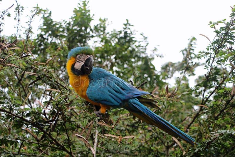 Blue Yellow parrot in Ecuador royalty free stock photos