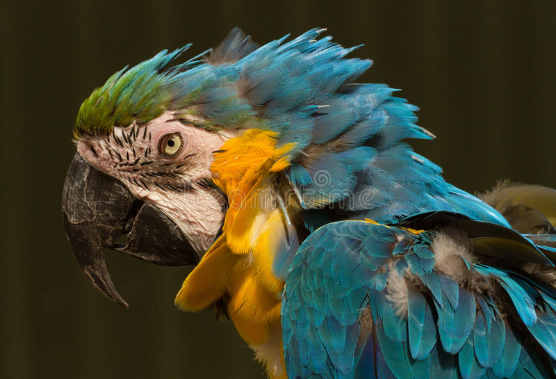 Blue and yellow parrot head. Blue and yellow Parrot Bird of paradise with ruffled feathers stock image