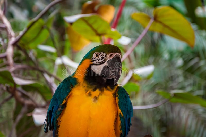 Blue and Yellow Parrot macaw tropical bird on nature background. Blue and Yellow Parrot macaw tropical bird on tree background stock photo