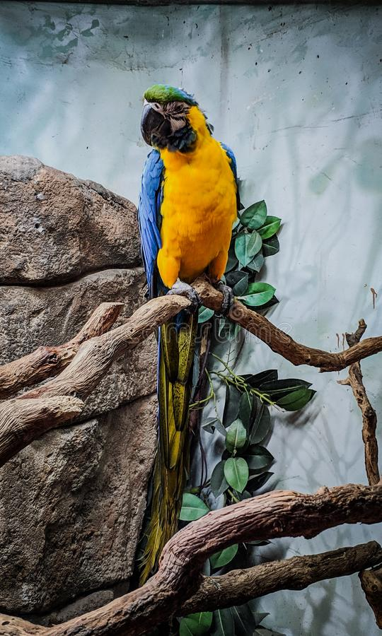 Blue and yellow parrot perched stock image