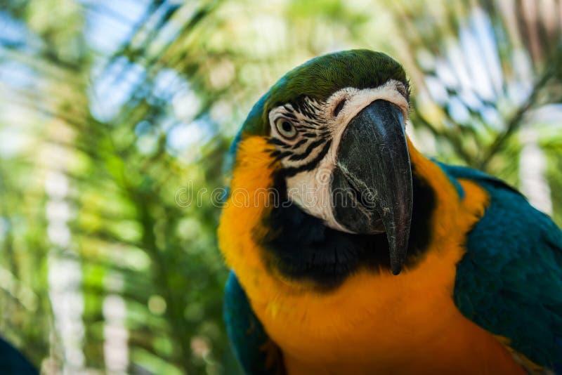 Blue and yellow parrots on jungle ,focus beak. Blue and yellow parrots on jungle background,focus beak stock photos