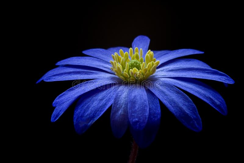 Blue Yellow Petaled Flower royalty free stock photo