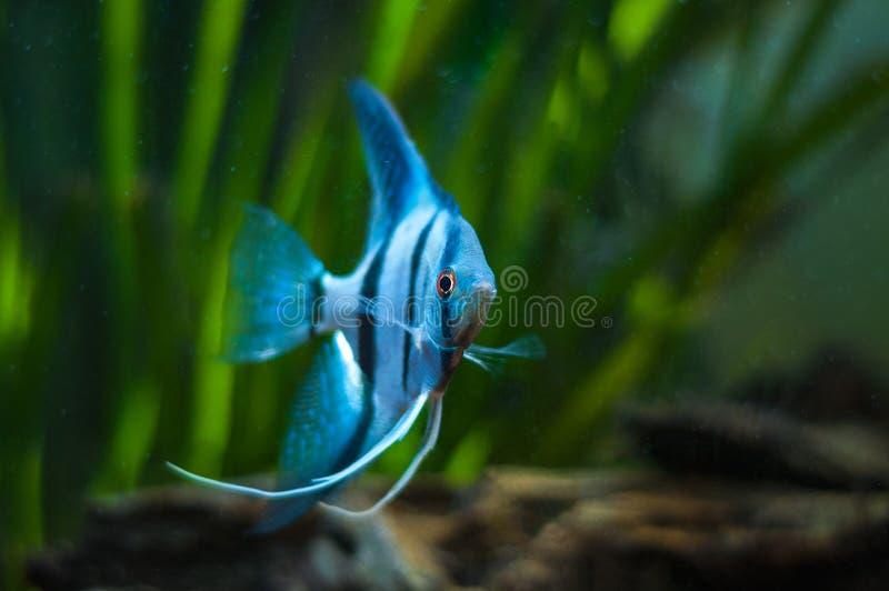 Blue Zebra Angelfish in tank fish stock photo