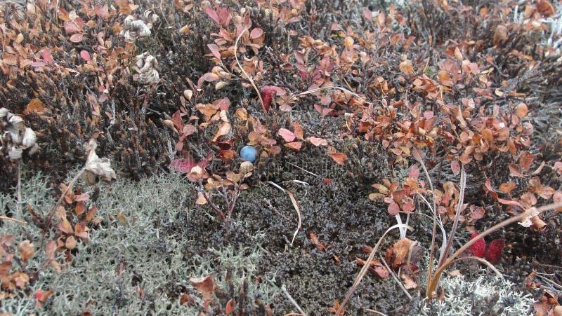 Bluebarries på berget royaltyfri bild