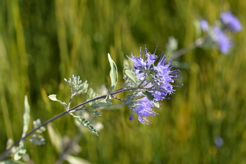 Bluebeard-wunderbar Blau lizenzfreies stockfoto