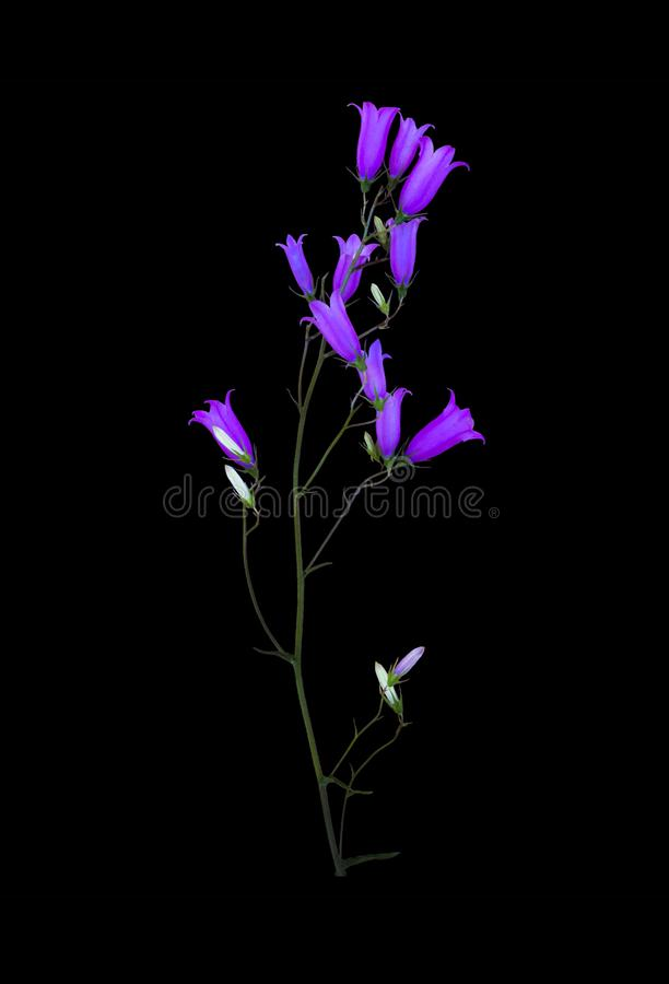 Bluebell полевого цветка изолированный на черноте стоковое фото rf