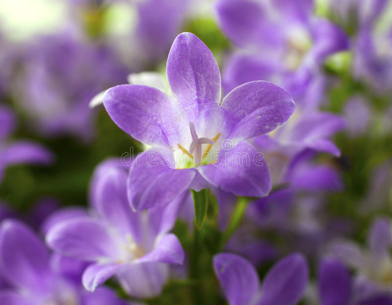 Bluebell images stock