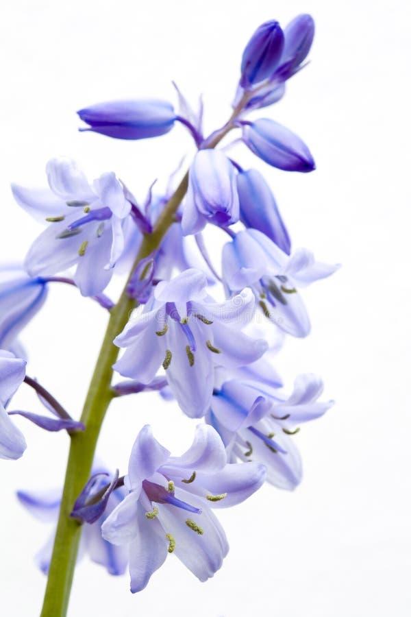 Bluebell fotografia stock libera da diritti