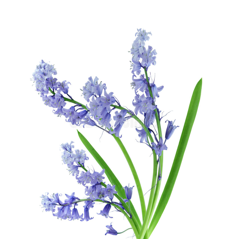 Bluebell image stock