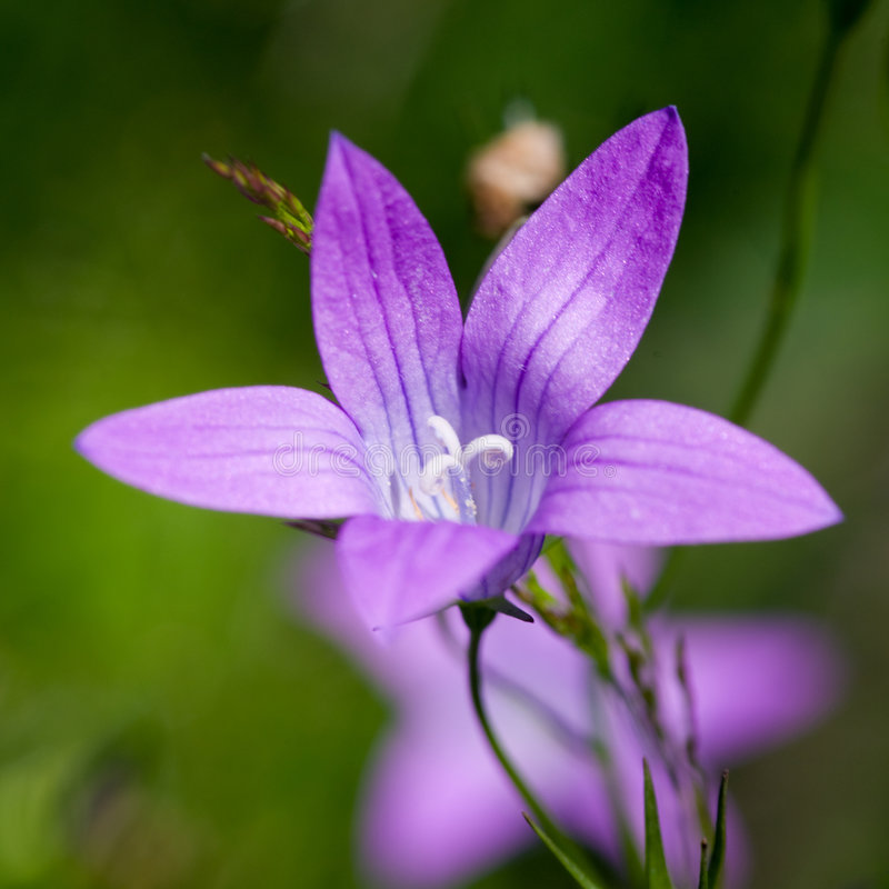 Bluebell photographie stock