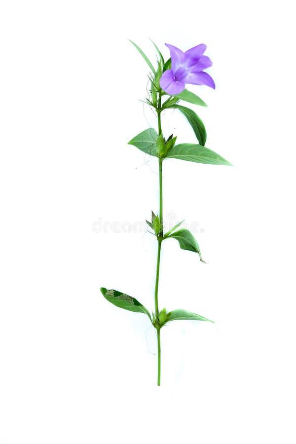 Bluebell barleria white background in studio. Bluebell barleria Close up for herb royalty free stock image