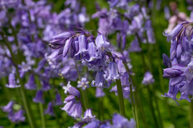 Bluebell bending over with the weight of flowers. One bluebell with a heavy head bending over with the weight of florets and stamens laden with pollen is in royalty free stock image