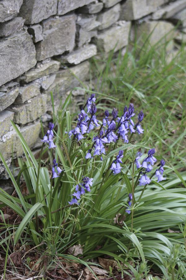 The bluebell. Blue flowers in the garden. The bluebell stock images