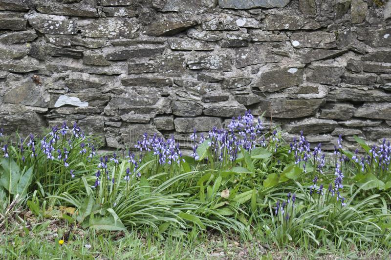 The bluebell. Blue flowers in the garden. The bluebell stock photography