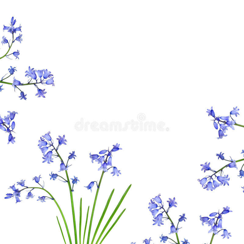 Bluebell Border. Bluebell flowers forming a border and set against a white background vector illustration