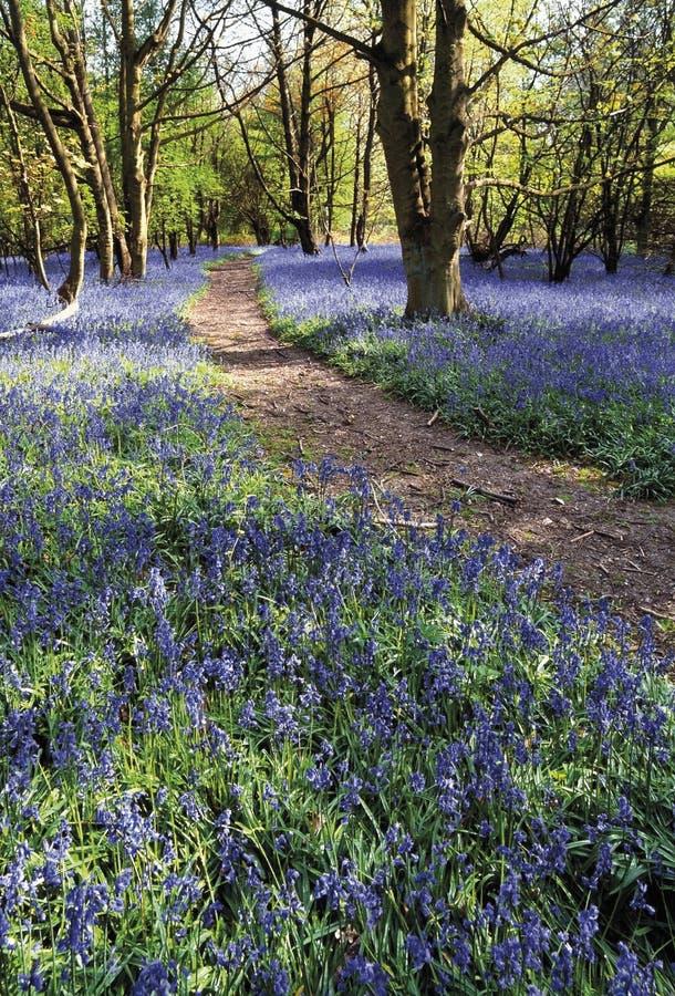 bluebell buckinghamshire chilterns EN ridgeway δάσος pitstone βασικών &m στοκ φωτογραφίες με δικαίωμα ελεύθερης χρήσης
