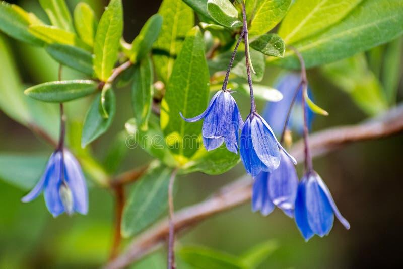 Bluebell Creeper Billardiera heterophylla flowers; native to Western Australia, but grown as an ornamental plant in appropriate. Climates worldwide stock image