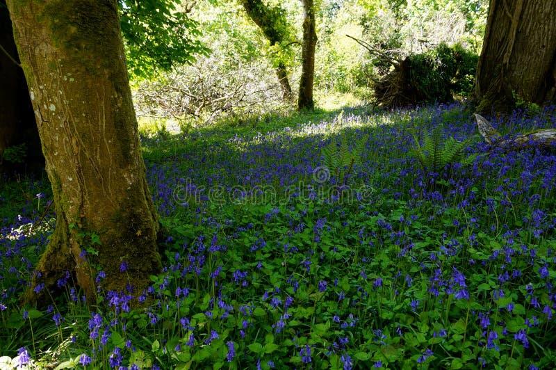 Bluebell field in killarney. National park ireland royalty free stock image