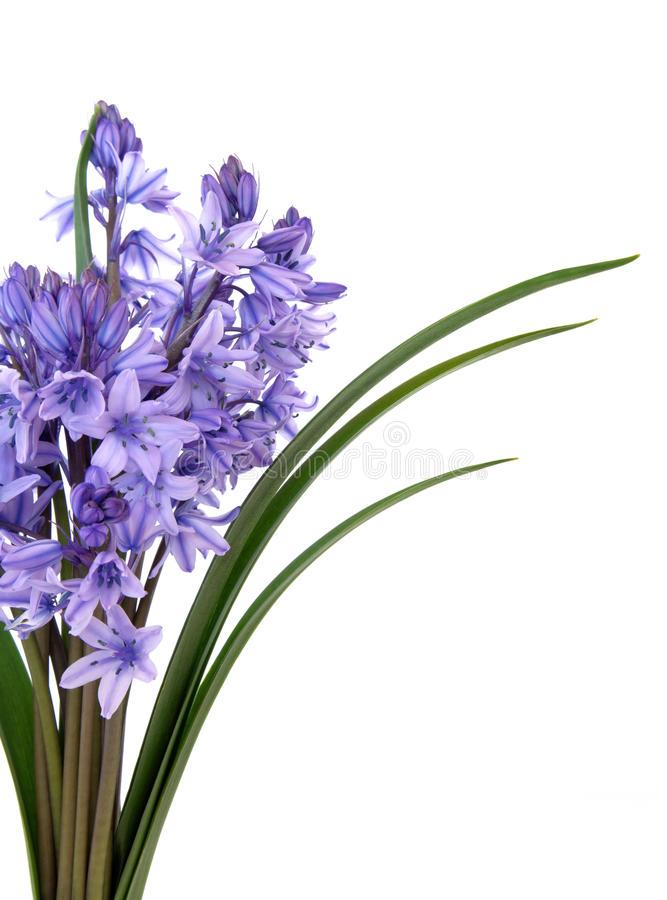Bluebell Flower Beauty. Bluebell flowers in a bunch over white background stock photo