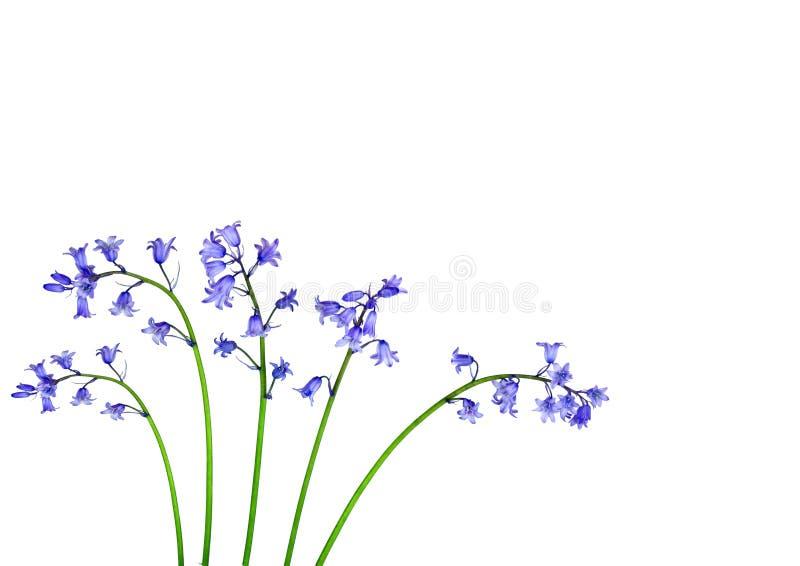Bluebell Flower Beauty. Five bluebell flowers over white background royalty free illustration