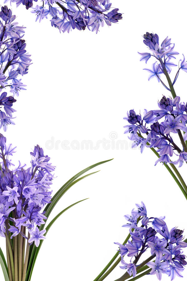 Bluebell Flower Border. Bluebell flowers forming a border over white background royalty free stock images