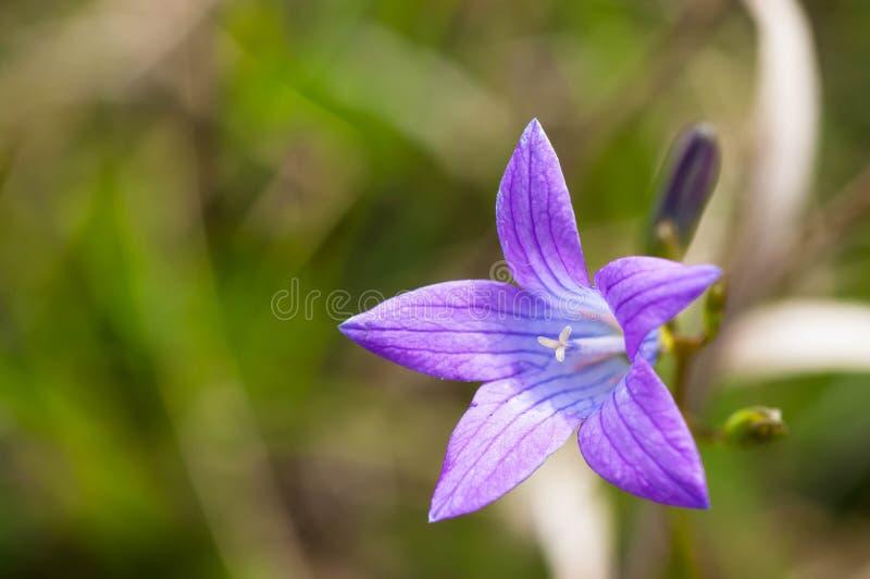 Bluebell flower Campanula Patula} close up shot. On a bright sunny day stock image