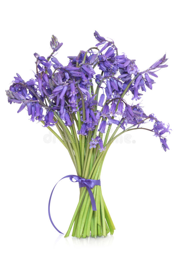 Bluebell Flowers. Tied in a bunch with ribbon, isolated over white background royalty free stock images