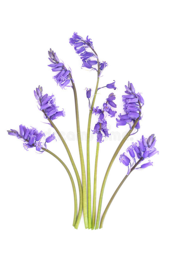 Bluebell Flowers. Bluebells in an abstract arrangement isolated over white background stock images